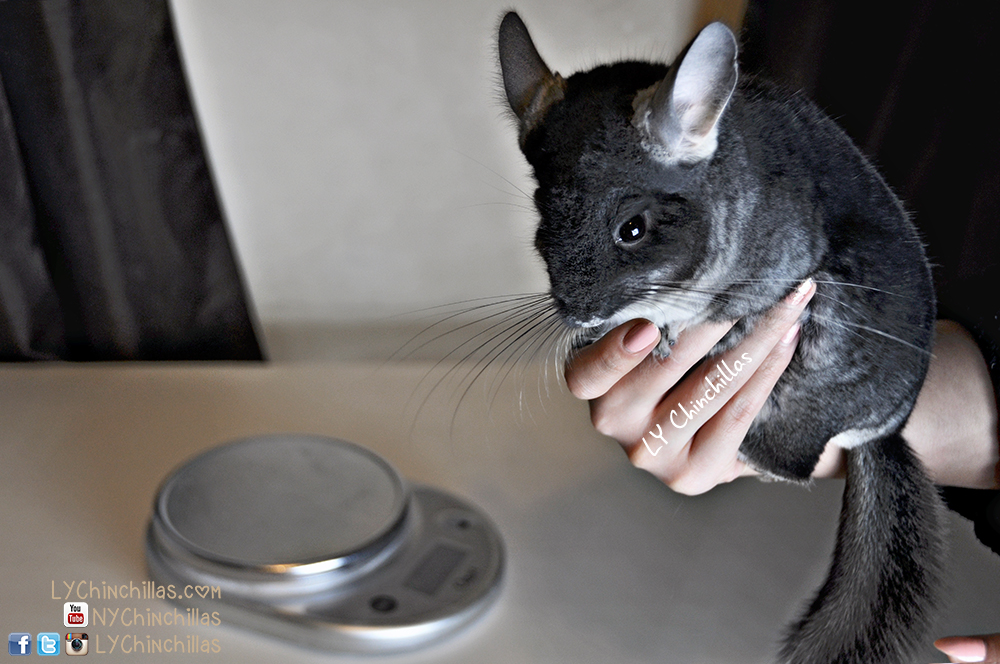 how much does the average chinchilla weight