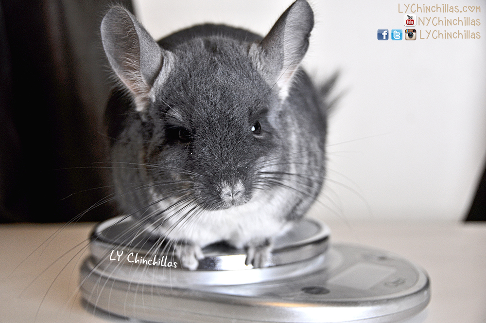 Get To Know Mufftoneous Ly Chinchillas