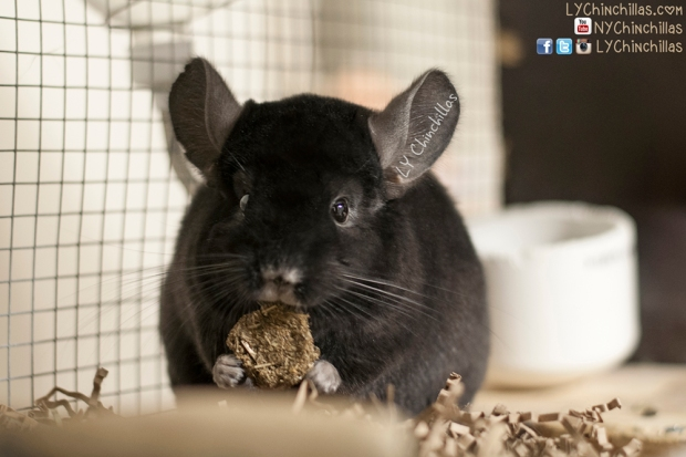 Koko Cookie 2
