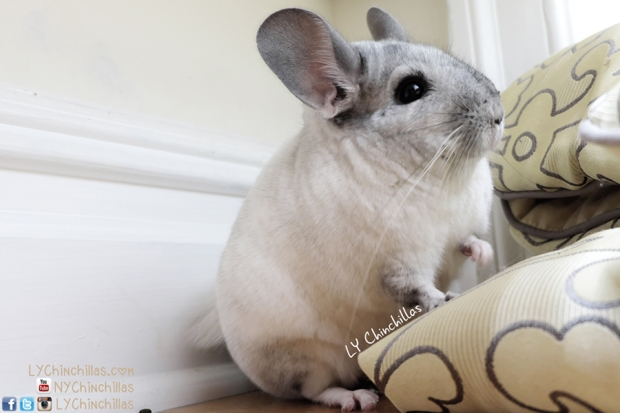 fifi cute lady chinchilla adorable pet