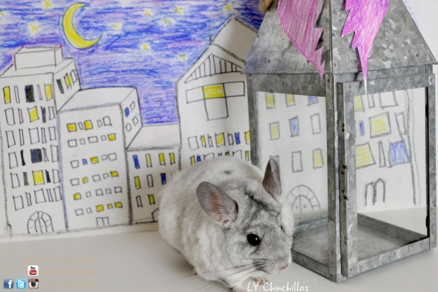 lulu chinchilla city