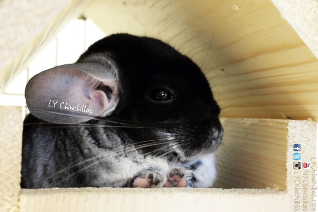 mff chinchilla home house cute cutie
