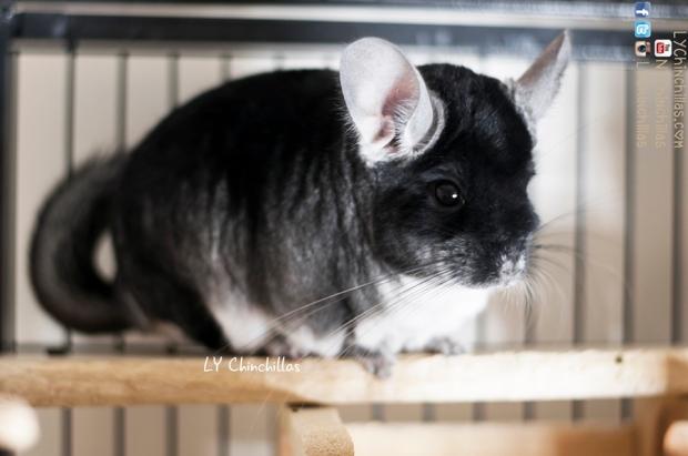muff light chinchilla cutie