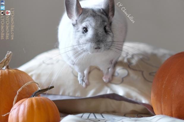 Fifi pumpkins